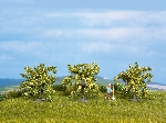 Noch Zitronenbaume 3 St.
